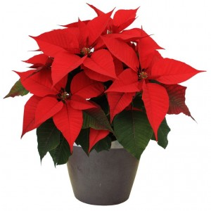 Poinsettia Sale & Adult Education